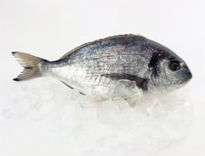 Free Gilt-head Bream Stock Image - 19937721