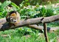 Free Common Squirrel Monkey Stock Photo - 19949210