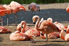 Free Chilean Flamingos Royalty Free Stock Photo - 19949235