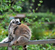 Free Ring-tailed Lemur (Lemur Catta) Royalty Free Stock Photos - 19949528