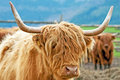 Free Highland Cattle Stock Photography - 19957242
