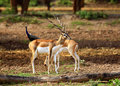 Free Couple Antelopes Royalty Free Stock Photo - 19957255