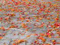 Free Fallen Petals Royalty Free Stock Photography - 19957747