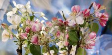 Branch With Flowers And Blossoms Of Apple Royalty Free Stock Images