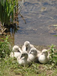 Free Young Swans On A Lake Royalty Free Stock Images - 19950569
