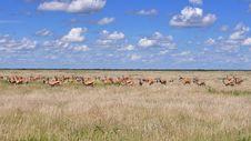 Free Group Of Gazelle Stock Photo - 19951810