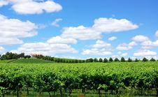 Free Landscape Of Portuguese  Vineyard. Stock Photos - 19952563