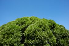 Free Green Crown Of Tree Stock Images - 19952964
