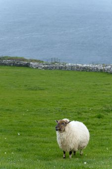 Free Irish Sheep Royalty Free Stock Photos - 19953548
