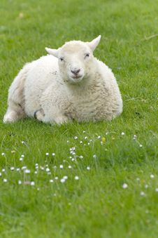 Free Irish Sheep Royalty Free Stock Photography - 19953557