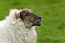Free Irish Sheep Stock Photos - 19953563