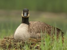 Free Canada Goose Sitting On Nest Stock Images - 19953744