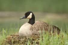 Free Canada Goose Sitting On Nest Royalty Free Stock Photo - 19953745