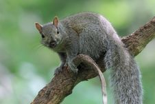 Gray Squirrel In Tree Royalty Free Stock Photography