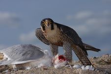 Nature S Peregrine/Saker Falcon Catch Stock Images