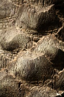 Free Date Tree Bark Royalty Free Stock Image - 19956616