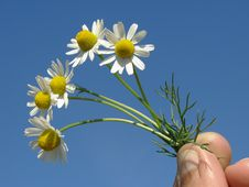 Free Wild Chamomile Royalty Free Stock Photos - 19956738