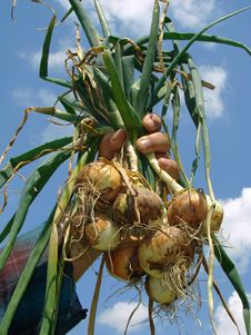 Free Fresh Onions Bunch Royalty Free Stock Photo - 19956815