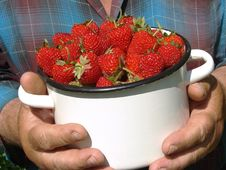 Free Harvesting Strawberries Royalty Free Stock Images - 19956889