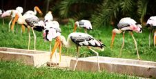 Free Painted Storks Royalty Free Stock Images - 19957019