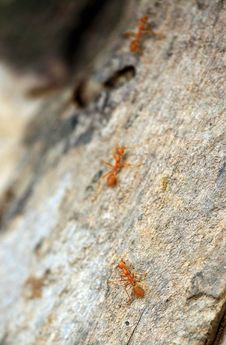 Free Chasing Army Ants Stock Photography - 19957212
