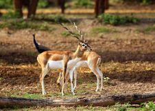 Free Couple Antelopes Royalty Free Stock Photo - 19957255