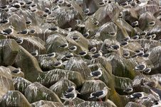 Crowds Of Seagulls On Groyne Waiting For Food Stock Photography