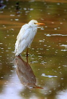 Free Egret With Reflection Royalty Free Stock Images - 19957699