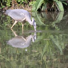 Free Grey Heron Stock Photography - 19957782