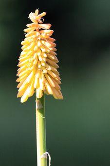 Flower Of Kniphofia Stock Image