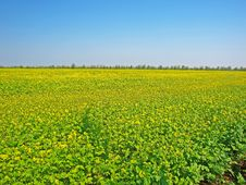 Free Spring Field With Yellow Flowers Stock Photo - 19958020