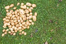Free Potatoes Royalty Free Stock Image - 19958766