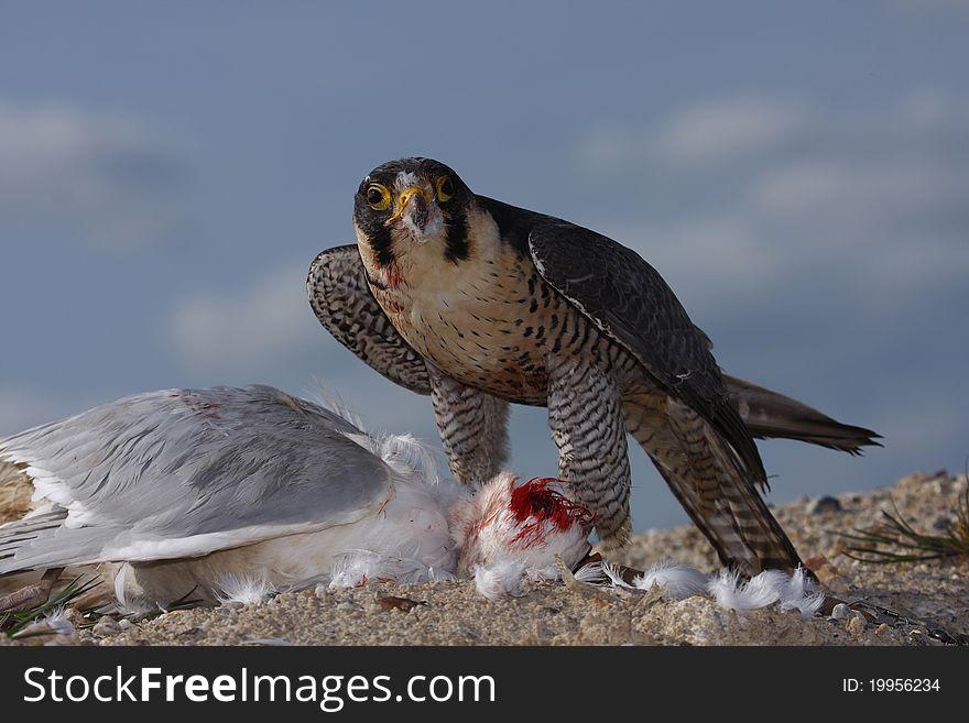 Nature s Peregrine/Saker Falcon Catch