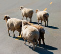 Free Sheep Royalty Free Stock Photo - 19962425