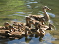 Free Mother Duck With Babies Royalty Free Stock Photo - 19964525