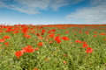 Free Poppies Royalty Free Stock Images - 19967019