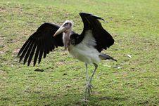 Free Strolling Marabou Stork Royalty Free Stock Photo - 19961325