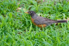 Free Robin Royalty Free Stock Photo - 19961475