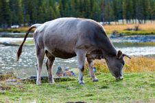 Free Ox Stock Photography - 19961632