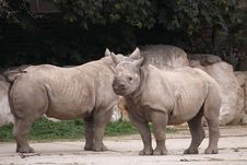 Free White Rhinos Royalty Free Stock Photo - 19961795
