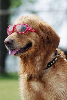 Free Golden Retriever Royalty Free Stock Photo - 19962195