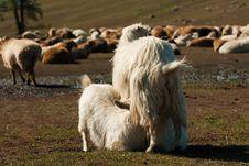 Free Sheep Stock Photos - 19962663
