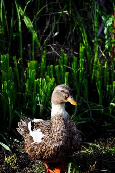 Free Water Duck Stock Image - 19962991