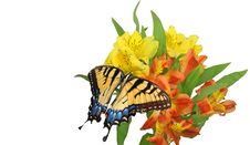 Free Eastern Tiger Swallowtail Royalty Free Stock Images - 19963319