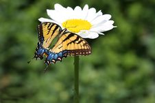 Free Eastern Tiger Swallowtail Stock Photography - 19963382