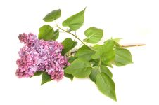 Free The Branch Of A Blossoming Lilac Royalty Free Stock Images - 19963569