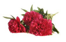Free The Bouquet Of Peonies Royalty Free Stock Photos - 19963698