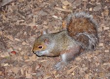 Free Squirrel Royalty Free Stock Photos - 19966298