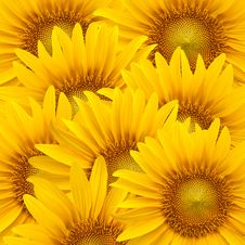 Free Sunflower Background Stock Photo - 19967190
