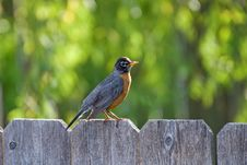 Free Robin Stock Photos - 19967373